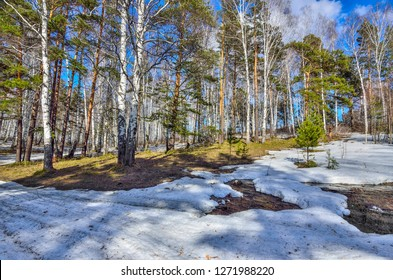 Early spring landscape in the forest where  white birches, green pine trees and first young grass, with melting snow and brook at bright sunny day with blue sky