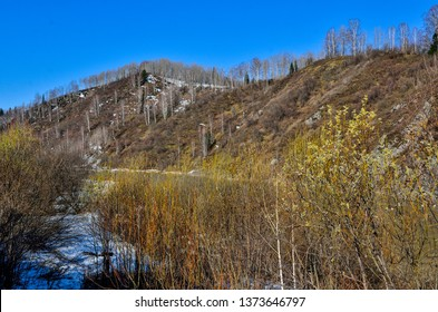 Early spring landscape on mountain river bank with blooming pussy willow bushes at foreground. Melting snow, white trunks of birch trees at sunny day. Fluffy catkins on pussy willow branches