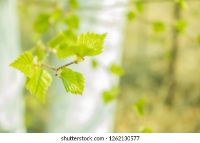 Early spring, March, April. Buds bloom, the first leaves on the trees. Birchwood, white trunks. Everything is blurry, copy space.