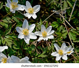 an early spring plant with white flowers and the name anemone growing by a dirt road in the village of Fasty in Podlasie, Poland - Shutterstock ID 1961127292
