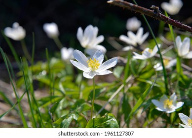 an early spring plant with white flowers and the name anemone growing by a dirt road in the village of Fasty in Podlasie, Poland - Shutterstock ID 1961127307