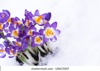 Early spring purple Crocus in snow for Easter