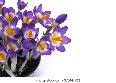 Early spring purple Crocus in snow. Isolated