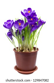 Early spring purple flower Crocus for Easter isolated