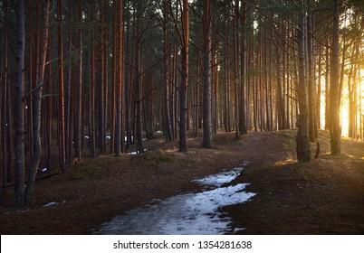Early spring. Snow-covered pine tree forest on a clear sunny day. Latvia