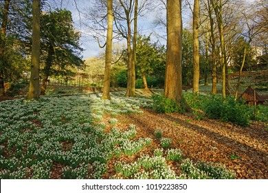 Early spring snowdrops, Galanthus nivalis, in Winter enjoying late afternoon sun in Rococo Garden, Painswick, The Cotswolds, Gloucestershire, United Kingdom
