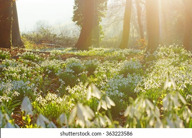 Early spring snowdrops, Galanthus nivalis, soft selective focus, with a hazy, misty late afternoon sunset in Rococo Gardens woodland near to Painswick, The Cotswolds, Gloucestershire, United Kingdom