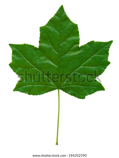 Early Spring Sweet Gum Tree Leaf Stock Photo Edit Now 184202390