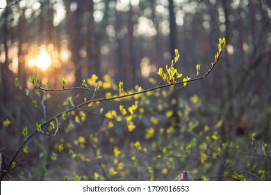 Early spring tree and sunset