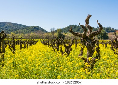 Early Spring Vineyard with Mustard in Full Bloom, Dry Creek Valley, Sonoma County, California, USA.
