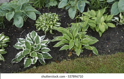 Early summer border with Hosta selection