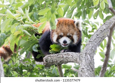 Early summer Red panda