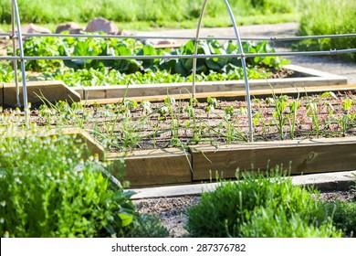 Early summer in urban vegetable garden.