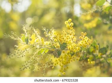 Early sunny morning in Australia bush with sunshine streaming on to golden yellow flowering Australian wattle tree