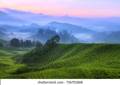 Early sunrise at tea farm, Sungai Palas Estate, Cameron Highland, Pahang Province, Malaysia, Southeast Asia, Asia