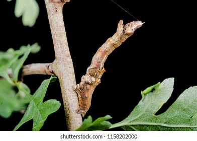 Early Thorn ( Selenia dentaria ) moth caterpillar. Sitting on a twig with a black background.