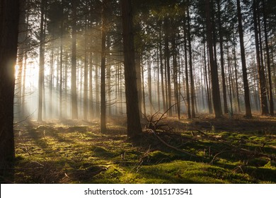 Early warm sun rays shine through a dark pine forest and thus illuminate the soft green moss on the bottom under the trees.