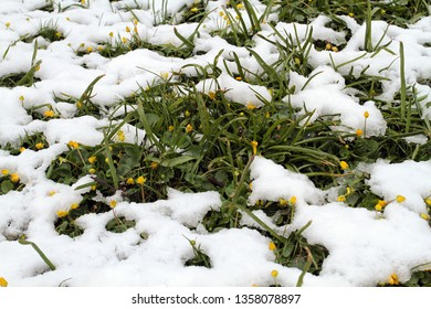 Early yellow flowers in the snow