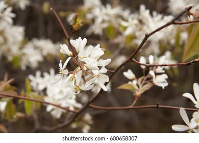 Early-flowering large shrub or small tree.