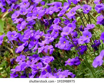 early-spring flowering garden plant called żagwin garden bialystok Podlasie Poland spring 2020 - Shutterstock ID 1933988975