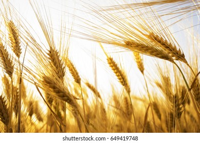 ears of barley