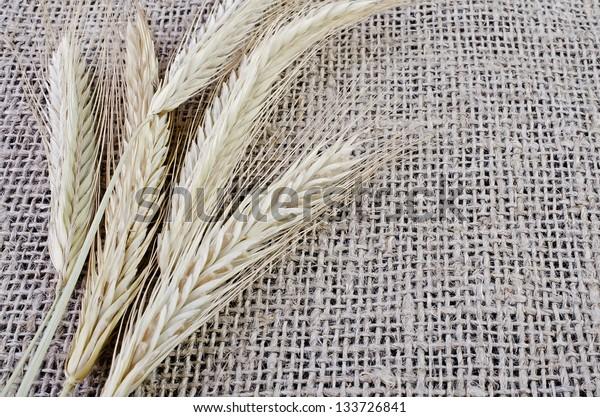 Ears of barley close-up, lying on sacking