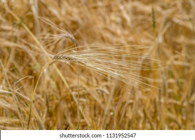 ears of barley in a cultivated field