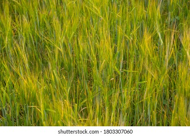 Ears of barley in the field background