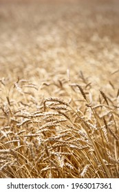 Ears of barley in a field ready for harvest
