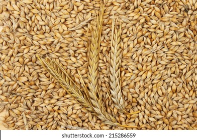 Ears of barley on a background of barley grains
