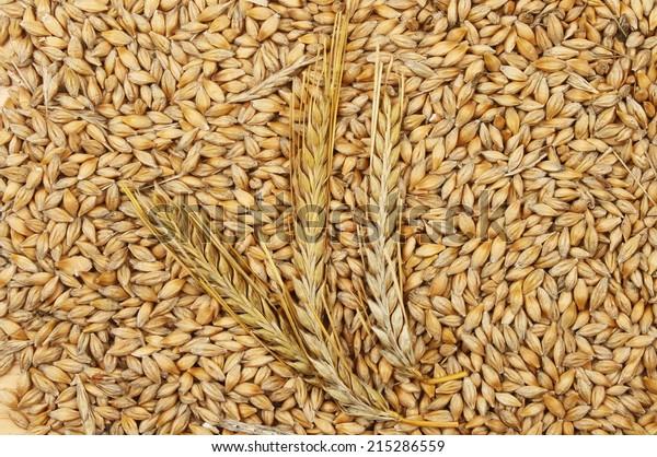 Ears of barley on a background of barley grains
