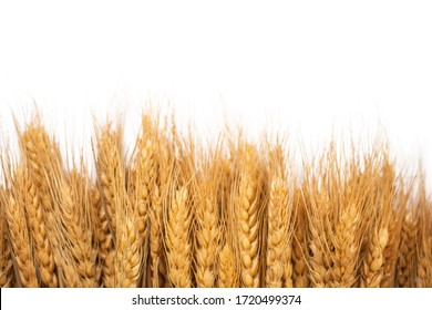 Ears of barley on white background with copy space.