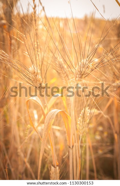 Ears Corn Ears Wheat Sun Wheat Stock Photo Edit Now 1130300153