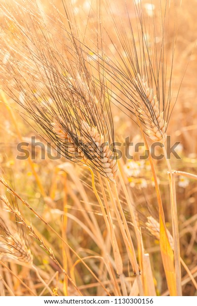 Ears Corn Ears Wheat Sun Wheat Stock Photo Edit Now 1130300156