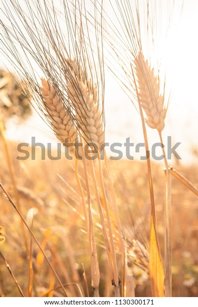 Ears Corn Ears Wheat Sun Wheat Stock Photo Edit Now 1130300171