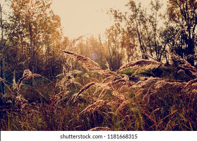 The ears of the feather grass in the rising rays of the autumn sun