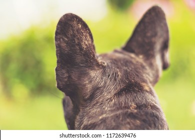 Ears of an french bulldog from behind waiting for the owner that left a moment ago. Summer