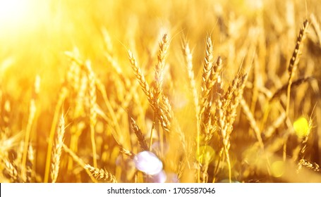 Ears of golden wheat at the beautiful field
