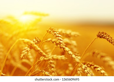 Ears of golden wheat close up. Beautiful nature sunset field background. Rural scenery of meadow under shining sunlight.
