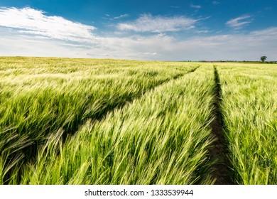 Ears of grain on green field in Poland