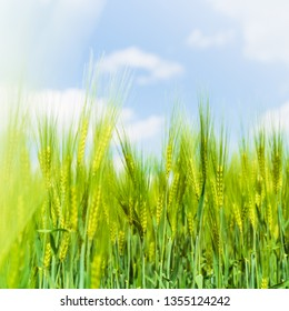 Ears of green rye with blue sky on background, natural background, summer time