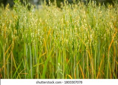Ears of oats in the field
