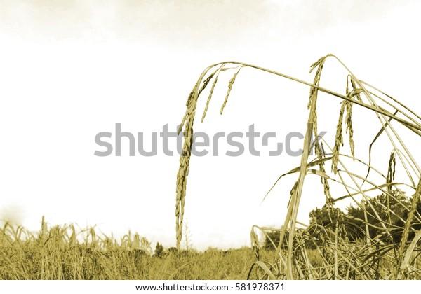 Ears of rice in a field.