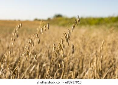 Golden Oat Grass Images Stock Photos Vectors Shutterstock