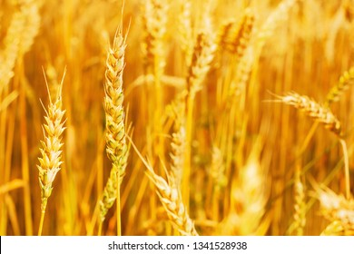 ears of ripe wheat. Agriculture concept