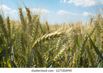 Ears of ripe wheat before harvesting on a background of blue sky. Agricultural landscape. Image with selective focus.
