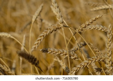 Ears of ripe wheat in the fields