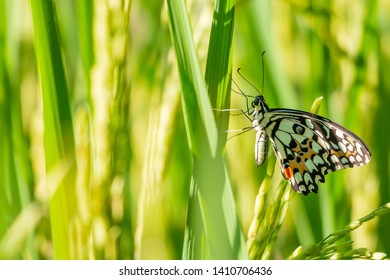 Ears of thai rice with butterfly and field rice blurred background.