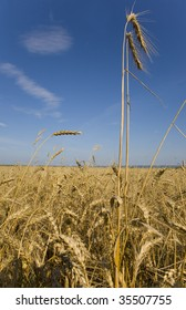 Ears of wheat against the sky