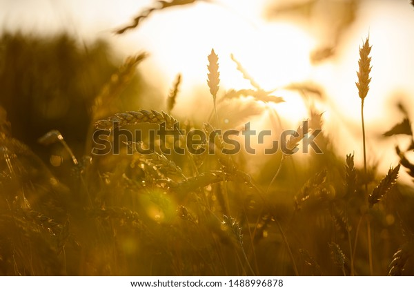 Ears Wheat Against Sun Stock Photo Edit Now 1488996878